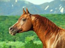 Beautiful  sorrel  arabian horse at freedom. Portrait of beautiful  sorrel  arab at freedom Stock Photography