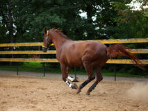 Beautiful sorrel horse gallops in corral Royalty Free Stock Image