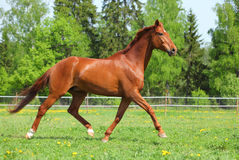 Beautiful sorrel racehorse playing on the field. Freedom sorrel horse in the paddock galloping on green grass Stock Photo