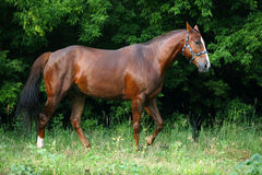 Beautiful sorrel racehorse walks in farm. In summer woods background Royalty Free Stock Photo