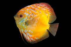 Beautiful South American fish Discus Royalty Free Stock Photos