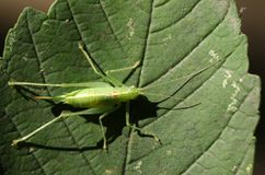 A pretty Southern Oak Bush-cricket Meconema meridionale perching on a leaf in woodland. Royalty Free Stock Photos