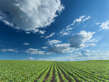 Beautiful soybean fields at idyllic sunny day. Rows of green soybeans against the blue sky with beautiful clouds. Soybean fields in summer season Royalty Free Stock Photo