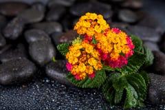 Beautiful spa υπόβαθρο των λουλουδιών στις μαύρες πέτρες με τις πτώσεις Στοκ Εικόνα