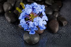 Beautiful spa background of flowers on black  stones with drops Stock Images