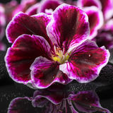 Beautiful spa background of geranium flower, beads and black zen Stock Images