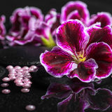 Beautiful spa background of geranium flower, beads and black zen Stock Image
