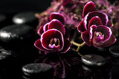 beautiful spa composition of dark cherry orchid flower and nettle leaf on black zen stones with dew stock photography