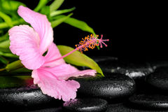 Beautiful spa composition of pink hibiscus flower and twig bambo Royalty Free Stock Images