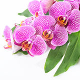 Beautiful spa concept of blooming branch stripped violet orchid Stock Photo