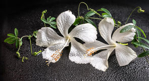 Beautiful spa concept of blooming delicate white hibiscus, green Royalty Free Stock Photos