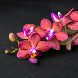 Beautiful spa concept of blooming twig red orchid flower, phalae Royalty Free Stock Photo