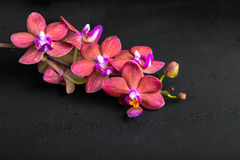 Beautiful spa concept of blooming twig red orchid flower, phalae Royalty Free Stock Images