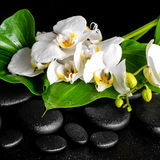 Beautiful spa concept of blooming white orchid flower Royalty Free Stock Images