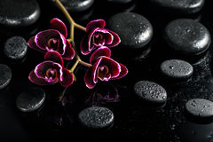 Beautiful spa concept of dark cherry orchid flower on black zen. Stones with drops royalty free stock images
