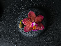 Beautiful spa concept  of dark purple orchid (phalaenopsis) Stock Photography