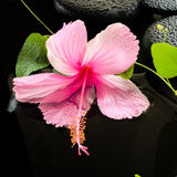 Beautiful spa concept  of delicate pink hibiscus, green tendril Royalty Free Stock Photos