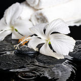Beautiful spa concept of delicate white hibiscus, zen stones wit Royalty Free Stock Photography