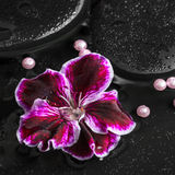 Beautiful spa concept of geranium flower, beads and black zen st Royalty Free Stock Photography
