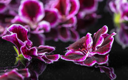 Beautiful spa concept of geranium flower in reflection water, Ro Royalty Free Stock Image