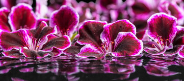 Beautiful spa concept of geranium flower in ripple reflection wa Stock Image