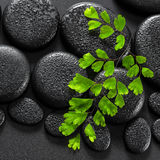 Beautiful spa concept of green twig Adiantum fern on zen basalt Royalty Free Stock Photo