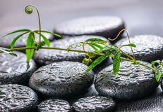 Beautiful spa concept of green twig passionflower with tendril o Stock Photos