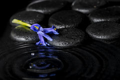 Beautiful spa concept of iris flower and black zen stones on rip Royalty Free Stock Image