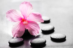 Beautiful spa concept of pink hibiscus flower on zen basalt ston Royalty Free Stock Image