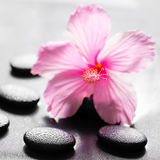 beautiful spa concept of pink hibiscus flower on zen basalt stone with drops, closeup stock image