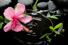 Beautiful spa concept  of pink hibiscus, green tendril Stock Images