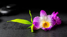 Beautiful spa concept of purple orchid dendrobium with dew, twig Stock Images