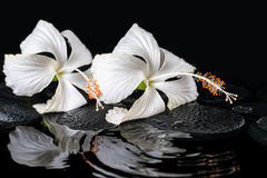 Beautiful spa concept of two delicate white hibiscus, zen stones Royalty Free Stock Photos