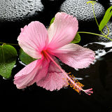 Beautiful spa setting of delicate pink hibiscus, green tendril Stock Photo