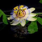 Beautiful spa setting of passiflora flower and green branch Stock Image