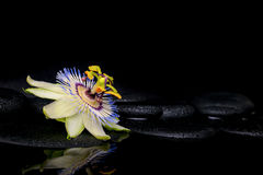 Beautiful spa setting of passiflora flower on zen stones. With reflection in water, closeup Stock Photography