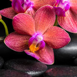 Beautiful spa still life of blooming twig red orchid flower, pha Stock Image