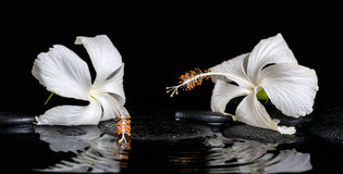 Beautiful spa still life of delicate white hibiscus, zen stones Royalty Free Stock Photography