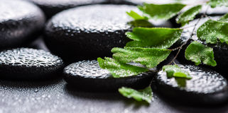 Beautiful spa still life of green twig Adiantum fern on zen basalt stones with drops, panorama stock photography