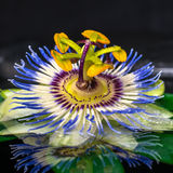 Beautiful spa still life of passiflora flower on green leaf, zen Stock Image