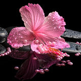Beautiful spa still life of pink hibiscus, drops and pearl beads Stock Images