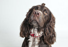 Beautiful spaniel with tuft on a gray background Stock Images