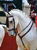 Spanish horse in spectacle. Beautiful spanish horse in spectacle in spain Royalty Free Stock Image