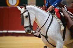 Spanish horse in spectacle. Beautiful spanish horse in spectacle in spain Royalty Free Stock Images