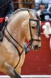 Spanish horse in spectacle. Beautiful spanish horse in spectacle in spain royalty free stock photo