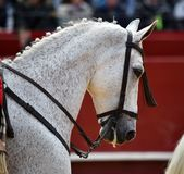 Spanish horse in spectacle. Beautiful spanish horse in spectacle in spain Stock Photo