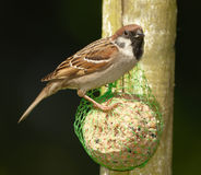 A beautiful sparrow Royalty Free Stock Photo