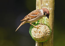 A beautiful sparrow Stock Photo