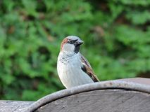 Nice sparrow bird on wood, Lithuania Royalty Free Stock Images