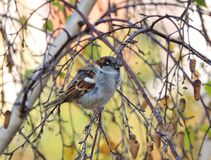 Beautiful sparrow bird on tree branch, Lithuania Stock Images